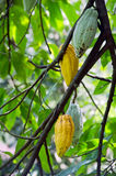 Cacao fruit in Bali. A close up of cacao fruit hanging on a tree in Bali, Indonesia. Cocoa powder is made using seeds of this fruit Stock Photos
