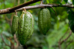 Cacao fruit in Bali. A close up of cacao fruit hanging on a tree in Bali, Indonesia. Cocoa powder is made using seeds of this fruit Royalty Free Stock Images