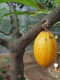 Cacao fruit. Hanging on tree in a greenhouse for tropical crop plants Royalty Free Stock Photography