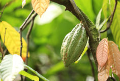 Cacao fruit grow on tree Royalty Free Stock Photos