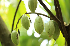 Cacao fruit grow on tree Stock Photography