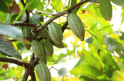 Cacao fruit grow on tree Stock Photo