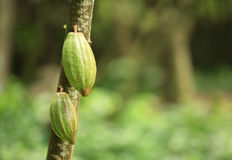Cacao fruit grow on tree Royalty Free Stock Image