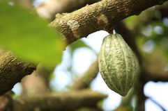 Cacao fruit grow on tree Stock Image