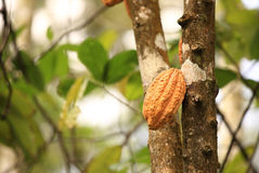 Cacao fruit grow on tree Royalty Free Stock Photography