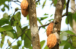 Cacao fruit grow on tree Royalty Free Stock Images