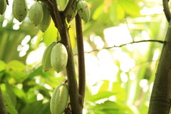 Cacao fruit grow on tree Royalty Free Stock Photo