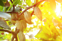 Cacao fruit grow on tree. Green cacao fruit grow on tree Stock Images
