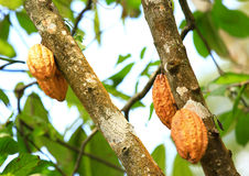 Cacao fruit grow on tree Stock Images