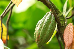 Cacao fruit grow on tree. Green cacao fruit grow on tree Royalty Free Stock Image