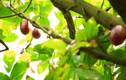 Cacao fruit grow on tree. Green cacao fruit grow on tree Royalty Free Stock Photo