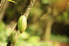 Cacao fruit grow on tree Stock Photos