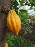 Cacao fruit. Hanging on tree in a greenhouse for tropical crop plants Stock Image