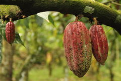 Cacao fruit. Large red cacao fruit. Picture taken in indonesia Royalty Free Stock Photography