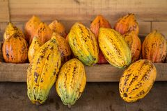 Cacao fruit, raw cacao beans, Cocoa pod background stock photography