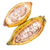 Cacao fruit, raw cacao beans, Cocoa pod isolated on white backgr Royalty Free Stock Images