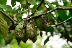 Cacao fruit on tree Stock Images