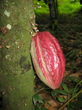 Cacao fruit close up in the tree Stock Photos