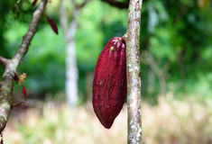 Cacao fruit on the tree. On garden Stock Photos