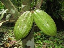 Stock Photo, Cacao, Chocolate Nut Tree (Theobroma cacao), fruit pods on tree Stock Photography