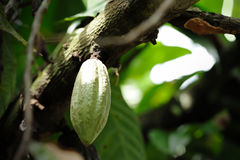 Cacao fruits Stock Photo