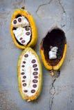 Cacao fruits Stock Photos