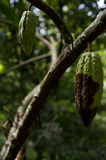 Cacao fruits. A spoiled cacao fruit in the cacao tree with other fruits in Bali, Indonesia Stock Photos