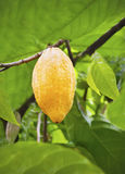 Cacao fruits Royalty Free Stock Image