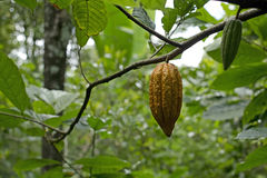 Cacao fruits on tree. Cacao fruits hanging from the tree in Bali, Indonesia Royalty Free Stock Photo