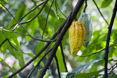 Cacao fruits on tree. Cacao fruits hanging on leafy green tree Royalty Free Stock Image