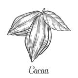 Cacao Hand drawn. Cocoa botany vector illustration. Doodle of healthy nutrient food.. Cacao engraving sketch etch line. Organic Cocoa on white background. Food Stock Photo