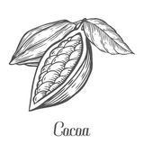 Cacao Hand drawn. Cocoa botany vector illustration. Doodle of healthy nutrient food.. Cacao engraving sketch etch line. Organic Cocoa on white background. Food Stock Photography