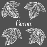 Cacao Hand drawn. Cocoa botany vector illustration set. Blackboard Doodle. Of healthy nutrient food. Cacao engraving sketch etch line. Organic Cocoa on black Stock Image