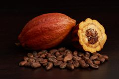 Cacao harvest fruit theme. Agriculture of cocoa pod with dry seeds Stock Photography
