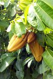 Cacao, la fruta, la materia prima del chocolate imagen de archivo