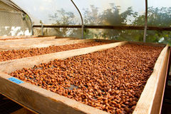 Cacao Nibs Roasting on Flats. Cacao nibs have been stripped from their pods and husks and are now roasting in the sun on flats in a chocolate factory in Hawaii royalty free stock photography