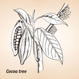 Cacao o cacao del Theobroma Fotos de archivo