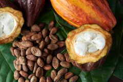 Cacao plant close-up. View. Dry and fresh cocoa seeds royalty free stock photography