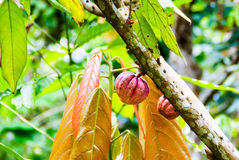 Cacao plant Royalty Free Stock Photography