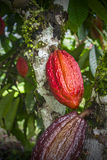 Cacao plant with fruits, Brazil Stock Photos