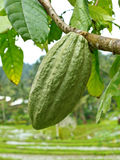 Cacao pod. Against rice fields stock photography