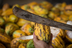 Cacao pod cut open to show cacao beans inside in Thailand.  royalty free stock photo
