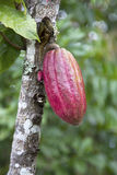 Cacao pod Royalty Free Stock Photo