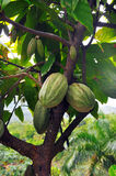 Cacao pod on tree. In the jungles of Dominicana Royalty Free Stock Images