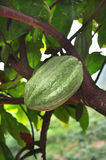 Cacao pod on tree Stock Photo