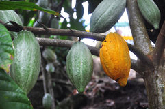 Cacao pod on tree. In the jungles of Dominicana Royalty Free Stock Photo
