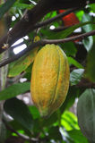 Cacao pod on tree Royalty Free Stock Photos