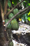 Cacao pod on tree Stock Images