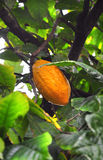 Cacao pod on tree. In the jungles of Dominicana Royalty Free Stock Photography