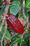 Cacao pod on tree. In the jungles of Dominicana Royalty Free Stock Photos